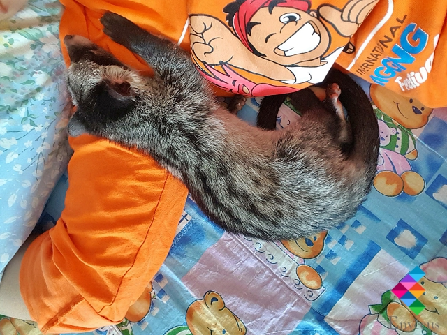 Hand rearing Palm Civet