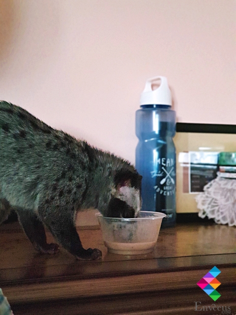 Palm Civet Eating