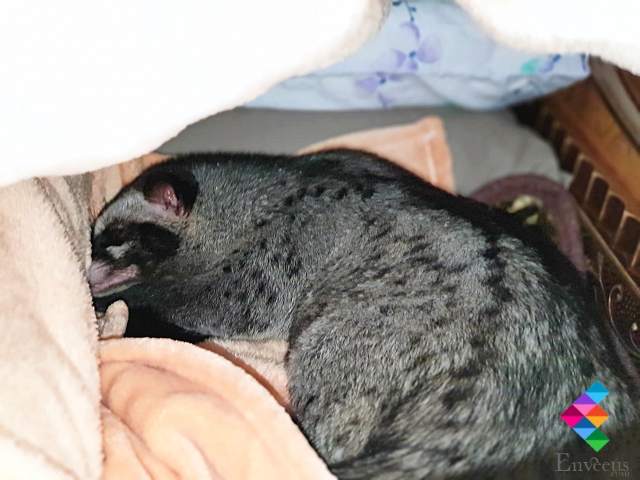 Palm Civet Sleep