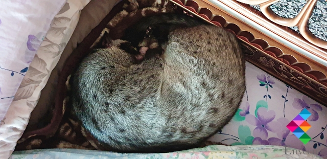 Vaccination Palm Civet Exotic Animal Veterinary